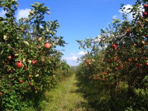 Сады Мичурина