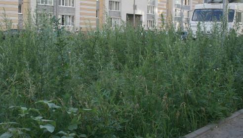 Джунгли из чертополоха в микрорайоне Московский, Тамбов