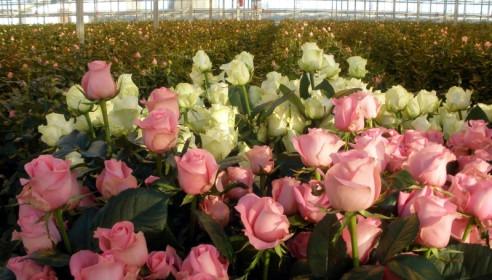 Итальянцы построят в Тамбове мегатеплицу по выращиванию роз