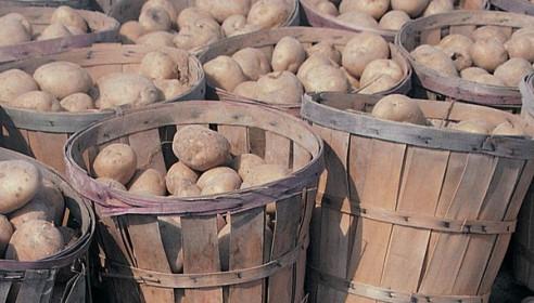Тамбовчан накормят 376 кг картофеля