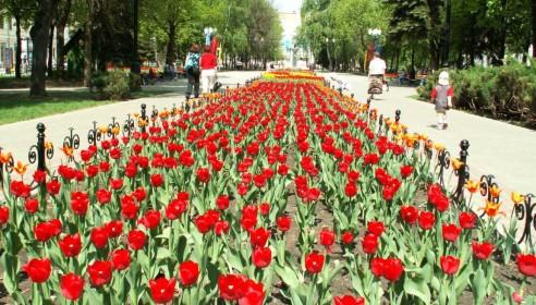 Тюльпаны в Тамбове. Фото taminfo.ru