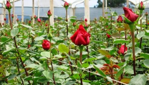 Строительство мегатеплицы по выращиванию роз в Тамбове откладывается