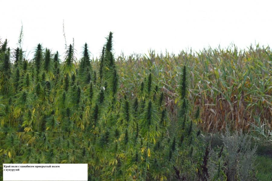 Кукурузное поле конопля за сколько выводиться марихуана