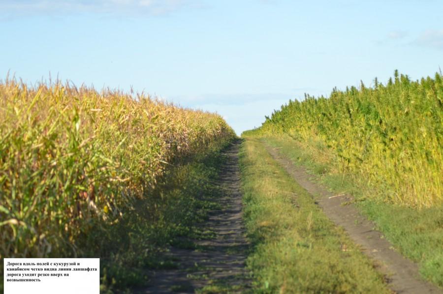 Дорога между полем с коноплей