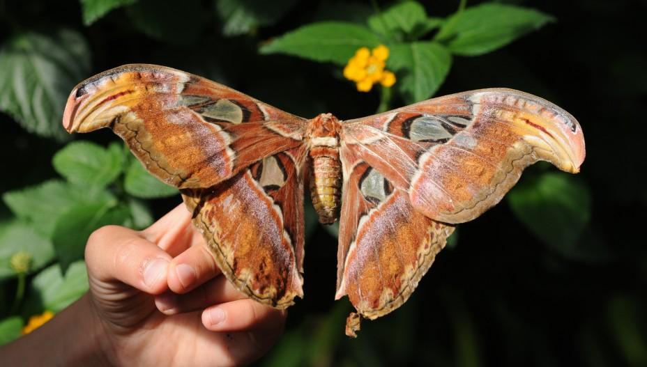 Гигантские тропические бабочки