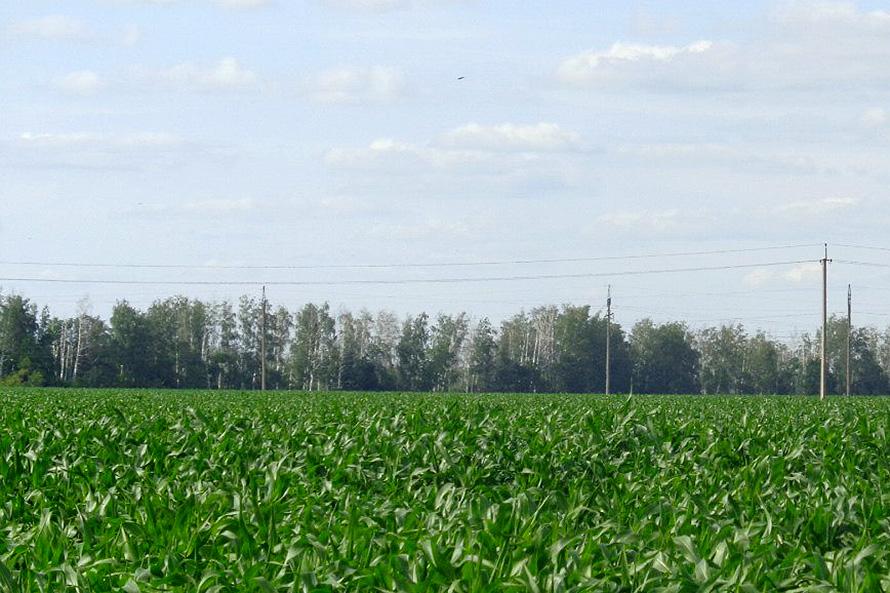 Поле с кукурузой в Майском